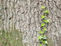 Alte Baumrinde mit Grünpflanze Stockbild