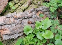 Alte Baumrinde mit Grünpflanze Lizenzfreie Stockbilder