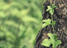 Alte Baumrindebeschaffenheit mit Grünpflanzen Stockbilder