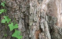 Alte Baumrindebeschaffenheit mit Grünpflanzen Stockfotos
