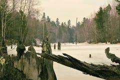 Alte Baumstümpfe und gefrorener Sumpf stockfoto