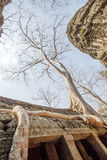 Alte Baumwurzel, die entlang dem Dach von Tempel Ta Prohm, Angkor Thom, Siem Reap, Kambodscha wächst Lizenzfreies Stockfoto