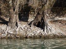 Alte Baumwurzeln durch den Flussufer Stockfotos