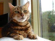 Alte Bengal-Katze, die nahe bei defocused Fenster sitzt Lizenzfreies Stockfoto
