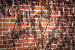 Alte Beschaffenheitsbacksteinmauer, Hintergrund, ausführliches Muster umfasst im Efeu stockbild