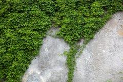 Alte Betonmauer bedeckt mit dem grünen Efeu Lizenzfreies Stockfoto