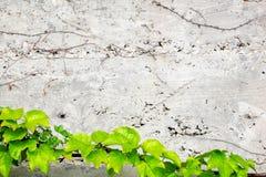 Alte Betonmauer bedeckt mit Efeu Lizenzfreie Stockfotos