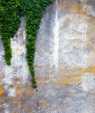 Alte Betonmauer mit dem grünen Efeu Stockfoto