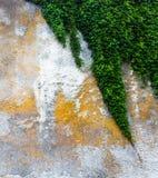 Alte Betonmauer mit dem grünen Efeu Lizenzfreies Stockbild