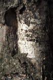 Alte Birke Beschaffenheit, Hintergrund Schließen Sie oben von der Birkenrinde Stockfoto