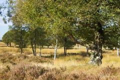 Alte Birke im Nationalpark Hoge Veluwe, die Niederlande Lizenzfreie Stockfotos