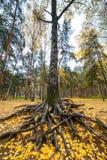 Alte Birke mit starken bloßen Wurzeln Stockfotografie