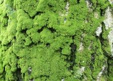 Alte Birkenbarke mit grünem Moos Stockbild
