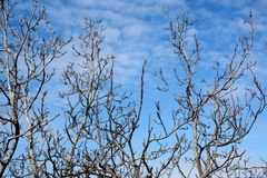 Alte blattlose Baumaste auf Himmelhintergrund Stockbilder