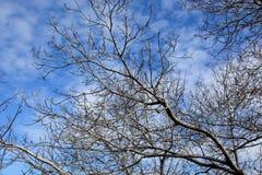 Alte blattlose Baumaste auf Himmelhintergrund Lizenzfreie Stockfotografie