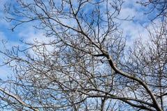 Alte blattlose Baumaste auf Himmelhintergrund, Juglans verzweigt sich Lizenzfreie Stockbilder