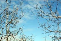 Alte blattlose Baumaste auf Himmelhintergrund, Juglans verzweigt sich Stockfoto