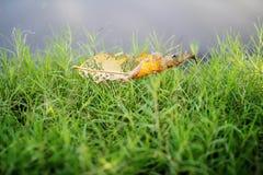 Alte Blatttropfen auf dem Gras Lizenzfreies Stockbild