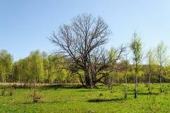 Alte bloße Zeit der Eiche im Frühjahr Stockbild