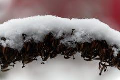 Alte Blume bedeckt mit Schnee Stockfotos