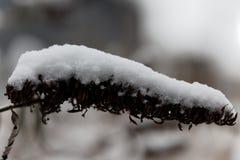 Alte Blume bedeckt mit Schnee Stockfotografie