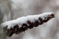 Alte Blume bedeckt mit Schnee Stockbild