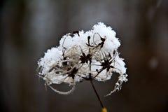 Alte Blume im Schnee Stockfoto