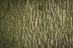 Alte Buchenbaumhaut Stockfotografie