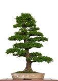 Alte chinesische Ulme als Bonsaisbaum Stockbild