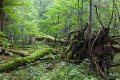 Alte Eiche, die mit der Wurzel sichtbar liegt Lizenzfreie Stockbilder