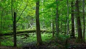 Alte Eiche gebrochenes im Frühjahr liegen Wald Stockfoto