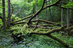 Alte Eiche gebrochenes im Frühjahr liegen Wald Lizenzfreie Stockbilder