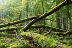 Alte Eiche gebrochenes im Frühjahr liegen Wald Stockfotos