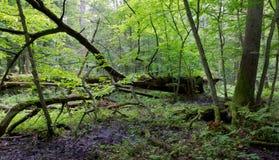 Alte Eiche gebrochenes im Frühjahr liegen Wald Stockbild