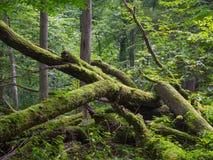 Alte Eiche gebrochenes Lügen im Sommerzeitwald Lizenzfreie Stockfotografie