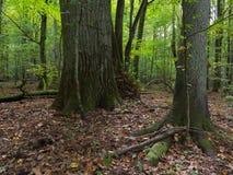Alte Eiche im herbstlichen Wald Stockfoto