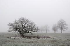 Alte Eiche im Nebel Stockbild