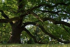 Alte Eiche im Park Langes schweres Niederlassungsmageres gegen den Boden Stockfotografie