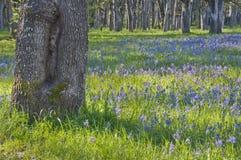 Alte Eiche im Vordergrund mit einer Wiese von blauen Camas-Wildflowers im Hintergrund Lizenzfreies Stockfoto