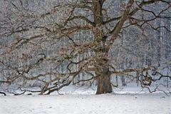 Alte Eiche im Winter Lizenzfreies Stockbild