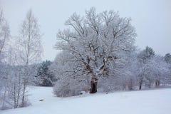 Alte Eiche im Winter Stockbilder