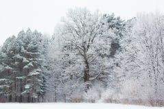 Alte Eiche im Winter Stockfotografie