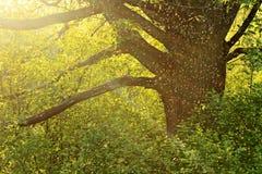 Alte Eiche am Sonnenuntergang und an einer Menge von Moskitos Lizenzfreie Stockbilder
