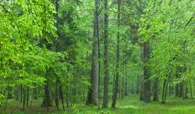 Alte Eichen im nebelhaften Wald des Sommers Lizenzfreie Stockbilder