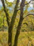 Alte Eichen mit gelbem Herbstlaub Stockbilder