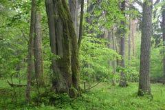 Alte Eichen und Linde im nebelhaften Wald des Sommers Stockfotografie