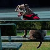 Alte englische auf einer Parkbank sitzende und gähnende Bulldogge Stockbild