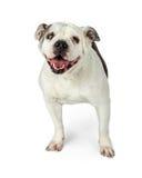 Alte englische Bulldogge auf Weiß Lizenzfreie Stockfotografie