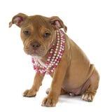 Alte englische Bulldogge des Welpen Stockfoto