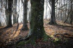 Alte enorme Bäume im Wald Stockbild